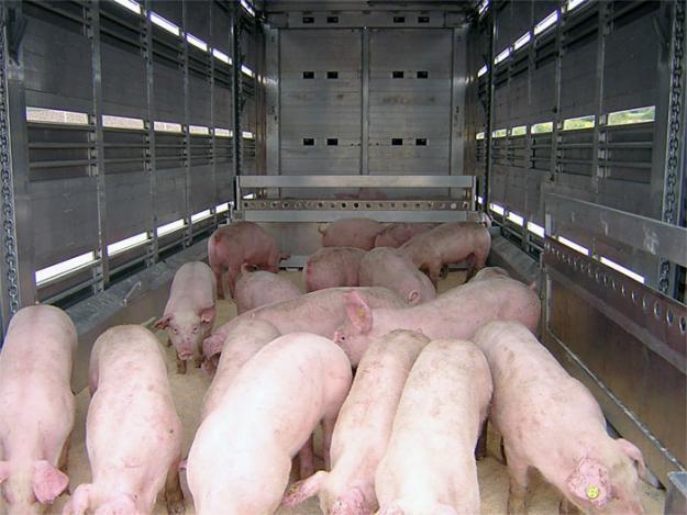 Transport ilegal de porci, depistat. Animalele au fost eutanasiate