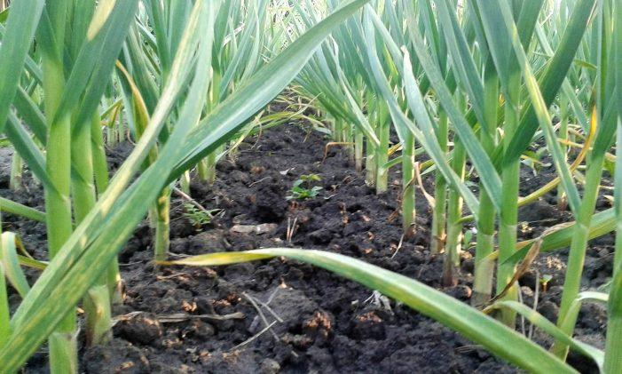 Guvernul a aprobat subvenția pentru cultivatorii de usturoi