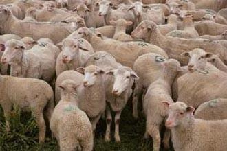 A intrat cu scooterul într-o turmă de oi