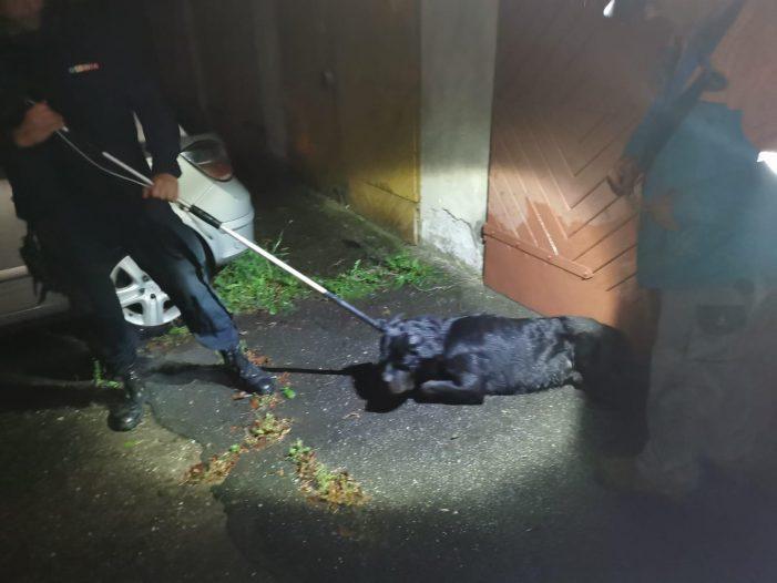 Câine periculos prins de jandarmi (Foto)