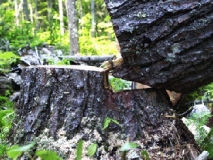 Bărbat strivit de un copac. A murit pe loc