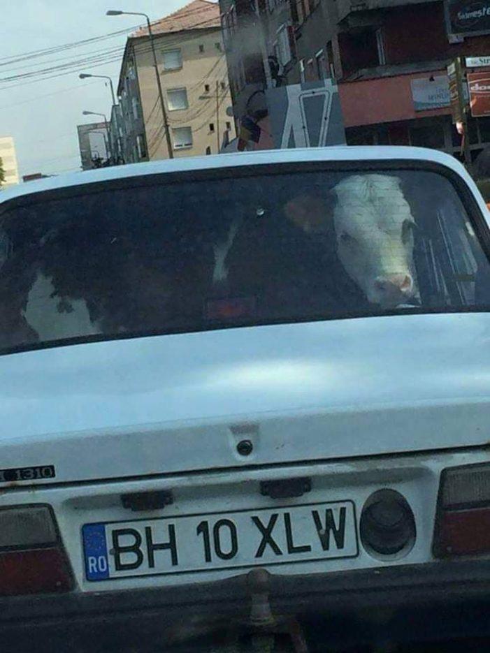 Cum își plimba un bihorean vitelul cu mașina ? (Foto)