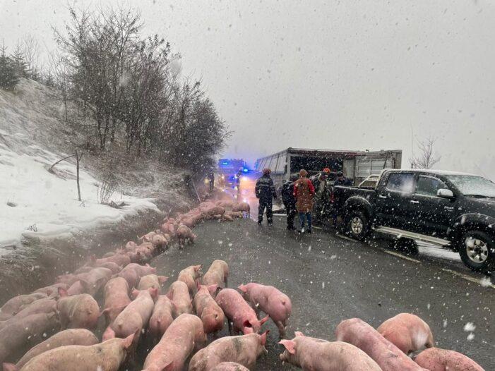 Un TIR plin cu porci, condus de un satmarean, s-a rasturnat (Foto&video)