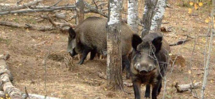 Focare de pestă porcină la mistreții din România. Care este situația în judetul Satu Mare ?