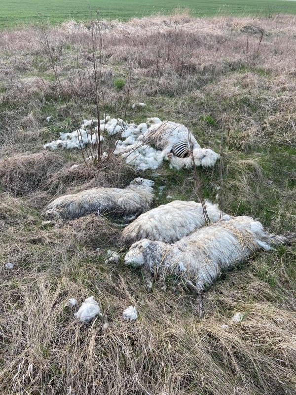 Oile găsite moarte pe un câmp de lângă Carei, au murit intoxicate