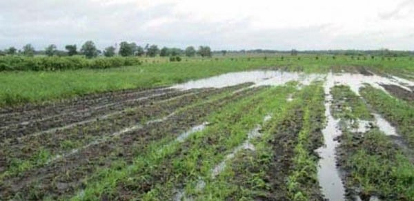 Agricultorii spun ca au pierderi de pana la 40% din cauza ploilor