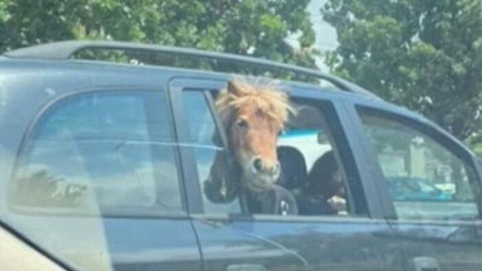 Si-a plimbat poneiul cu masina (Foto)