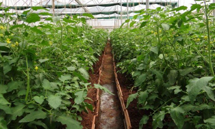 2000 de euro/1000 de metri patrati pentru culturile de legume