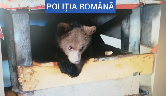Perchezitii. Pui de urs ținut captiv în Maramures (Foto)