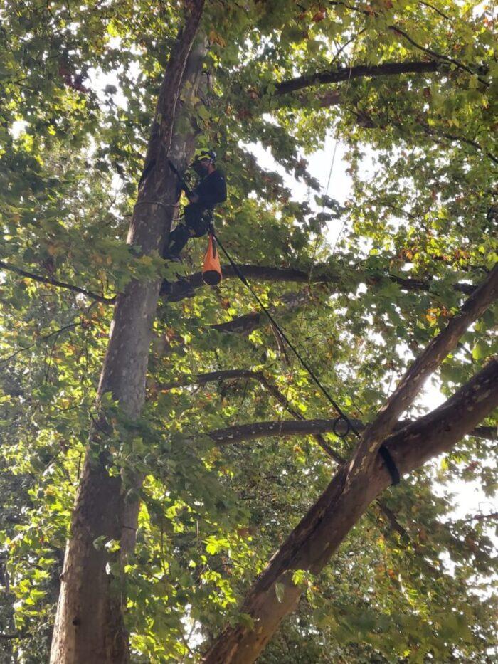 Coroanele arborilor din Gradina Romei, legate cu cabluri (Foto)